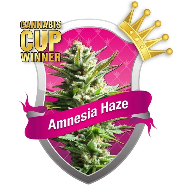 , ISMOKE Competition – Fancy Winning Yourself Some Amnesia Haze Seeds?