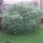Elderly Couple Grow Massive Cannabis Plant, Police Impressed