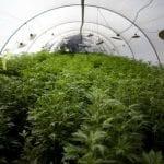 A Beginner's Guide to Choosing The Best Cannabis Strain.