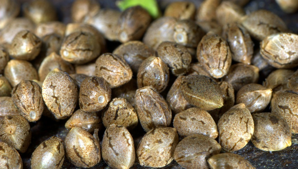 10 facts about cannabis seeds   ismoke magazine