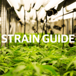 A Beginner's Guide to Choosing The Best Cannabis Strain
