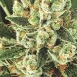 Cannabis Cloning – Marijunana Fundamentals