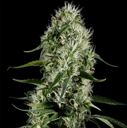 Super Silver Haze, Super Silver Haze Cannabis Strain review