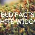 Bud Facts: White Widow