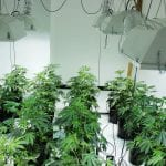What are the best Climatic Conditions for Growing Cannabis Seeds?