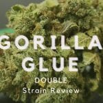 Gorilla Glue Cannabis Strain Review