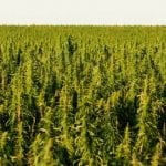 Washington House Votes Unanimously to Fully Legalise Hemp