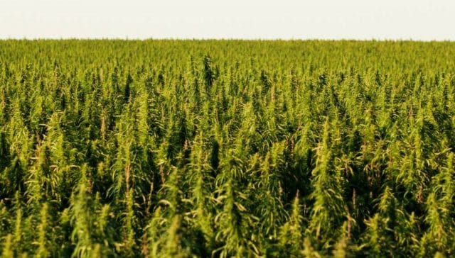 Washington votes to legalise hemp