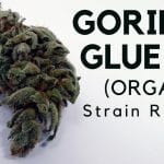 Gorilla Glue #4 Cannabis Strain Information & Review